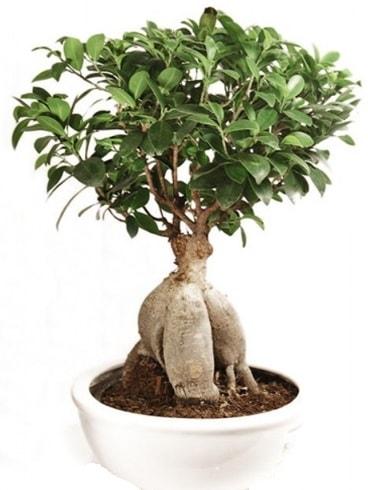Ginseng bonsai japon ağacı ficus ginseng  Kırşehir online çiçekçi , çiçek siparişi